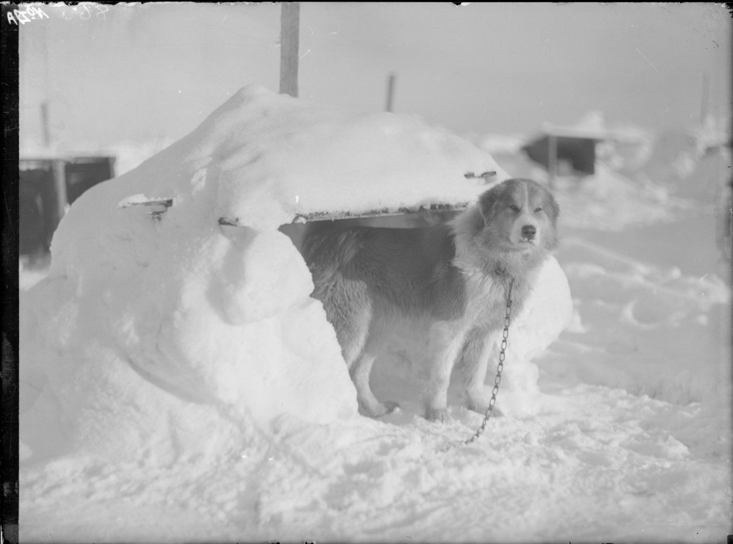 Samson, one of the dogs that went to the ice with Shackleton's Ross Sea Party.