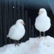 A pair of snowy sheathbills, much maligned
